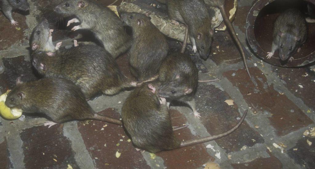 уничтожение крыс в Туле